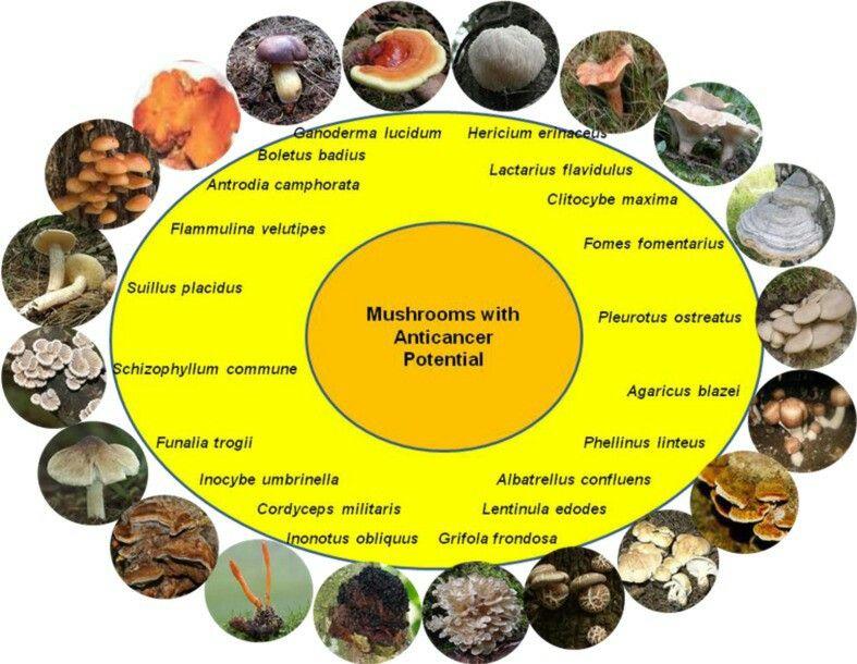 maitake mushroom extract anticancer