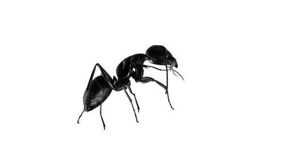 black ant powder.png