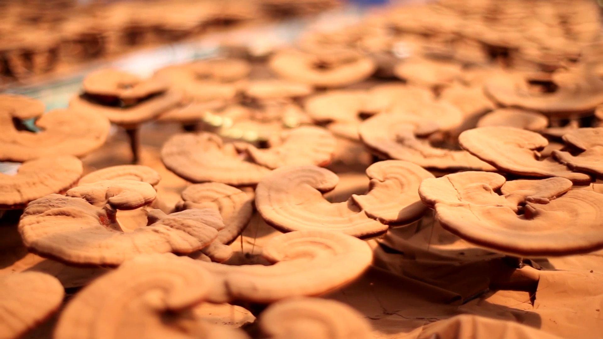 Good therapeutic effect on diabetes for ganoderma Lucidum spore powder