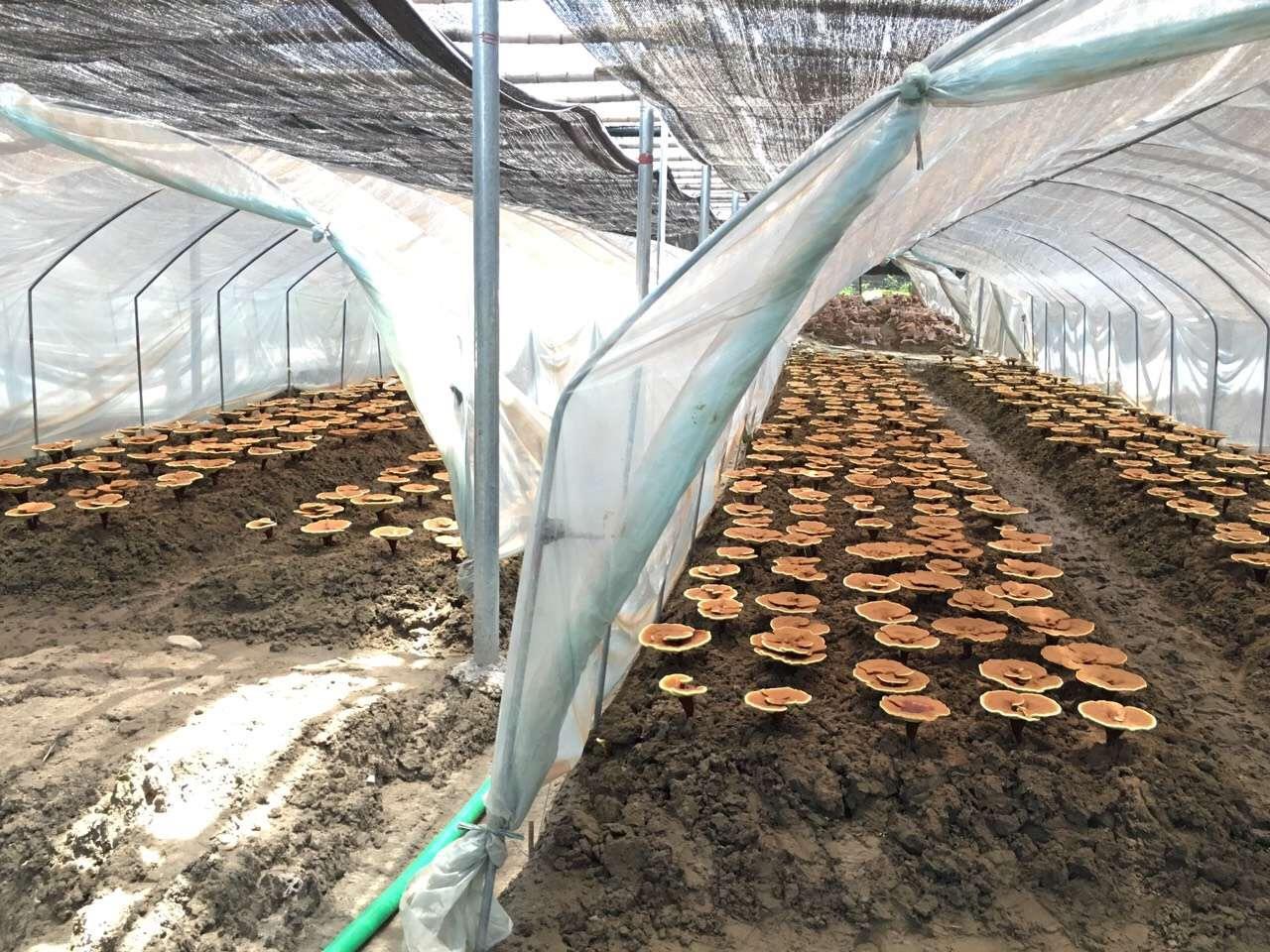 reishi planting base